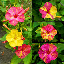 Marvel of peru mix-four o 'clock-mirabilis jalapa - 45 graines