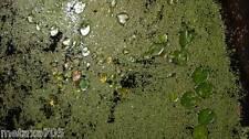 lentille d'eau 1 portion  plantes bassin ou d'aquarium