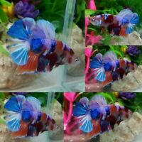 Multi Color Halfmoon Plakat Male - IMPORT LIVE BETTA FISH FROM THAILAND