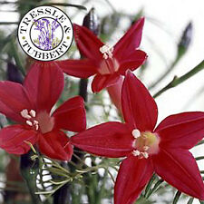 Rare ipomée quamoclit - 10 graines-vendeur britannique