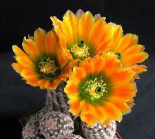 Echinocereus Ctenoides SB1536 (10 SEEDS) Cactus Samen Korn Graine 種子 씨앗 Семена