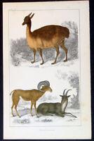 1830 Oliver Goldsmith Antique Print of Vieugna (Llama) of Peru & Argali Big Horn