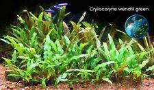 Crypt wendtii green x 3 - Live Aquarium Plant Tank INV