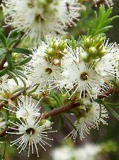 TICK BUSH SEEDS KUNZEA AMBIGUA SEED FLOWERING NATIVE SHRUB 700 SEED PACK