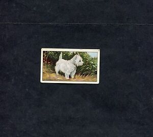 Gallaher Ltd - 1936 - A Series of 48 Dogs - No31 - West Highland White
