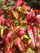 NANDINA FIREPOWER Evergreen Shrub 15in Shrub Autumn Winter Colour UK Nursery