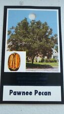PAWNEE PECAN TREE Shade Trees Live Healthy Plant Large Pecans Nuts Wood Garden