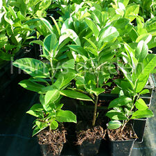36x LAUREL Prunus Common Evergreen Hedge Hedging Pot Grown 30-40cm (e260)