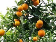 Citrus aurantium ( 25 seeds )