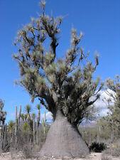 Beaucarnea Gracilis RARE NOLINA elephant foot mexican ponytail palm 20 SEEDS