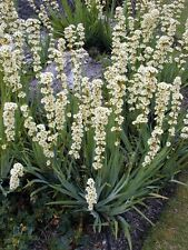 IRIS Satin Flower ... Sisyrinchium striatum (75 Seeds)