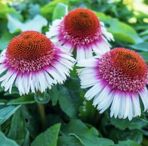 """Echinacea  """" Strawberries and cream"""" 20 Seeds  Limited In Stock"""