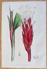van Houtte: Garden Flowers Pitcairnia from Brasil - 1846#
