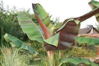 10 graines de bananier Musa Helen's Hybrid, rustique/hardy banana seeds