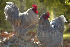 New listing 6 Lavender Laced Orpington Hatching Eggs Ultra Rare Breed Npip B&E Farm