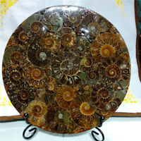Half Cut Ammonite fossil Shell Jurassic Fossil Disc with Stand ammonite fossil