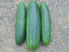 200 MARKETMORE CUCUMBER SEEDS, NON GMO, COMBINED S/H+ FREE GIFT