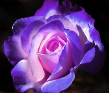 20+PINK & PURPLE SWIRL ROSE Bush Seeds   USA SELLER,  SHIPS FREE