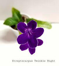 Streptocarpus Twinkle Night - Starter Plant/Plug