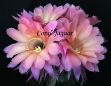 SIERRA SKYLINE Schick Hybrid Cactus Kakteen Echinopsis Stunning Cacti Plant