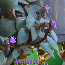 Cyanotis beddomei (kewensis), rare, from India, cuttings (no Tradescantia)