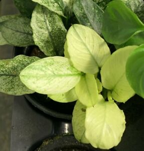 *BUY 2 GET 1 FREE* Anubias Nana Pinto White Anubias Easy Live Aquarium Plants ✅