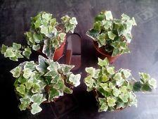 4 x Hedera Indoor/Outdoor Trailing Varigated Ivy 8cm Pots