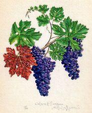 CABERNET SAUVIGNON wine grapes handworked giclee print