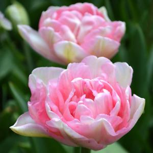 10 x Double Tulips - ANGELIQUE - Spring Flowering Fragrant Garden Plant BULBS