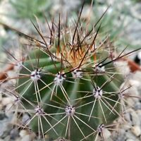 Carnegiea gigantea Icon of American Sonoran Desert Saguaro Cactus 57