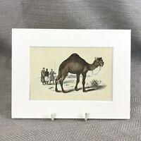 1853 Dromedary Camel Desert Camels Wild Animals Victorian Antique Original Print