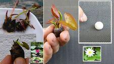 Bonsai Seerosen Set blühende Pflanzen für drinnen den Zimmerbrunnen Zwergrosen