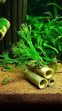 Microsorium pteropus windolow on 3 bamboo tubes, natural Aquarium Decoration