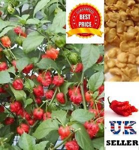 CAROLINA REAPER CHILLI PEPPER SEEDS, SUPER HOT 100% GENUINE, UK SELLER