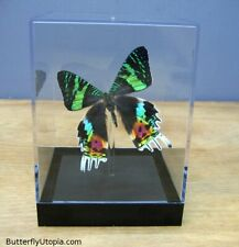 Real 3D Framed Butterfly: Sunset Moth - Table Top
