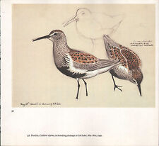 BEAUTIFUL VINTAGE BIRD PRINT ~ DUNLIN BREEDING PLUMAGE ~ TUNNICLIFFE