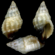 """PASCULA DARROSENSIS """"9.2mm"""" (Philippines) #35745"""