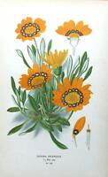 GAZANIA SPLENDENS,TREASURE FLOWER, Edward Step Antique Botanical Print 1897