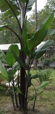 20 Seeds - Musa balbisiana  'Atia Black' (Black-stemmed banana / Thai Black)