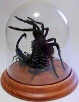 Mortal Combat Real Tarantula Spider vs Scorpion Taxidermy in a Dome
