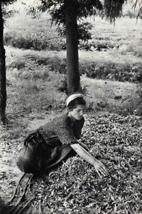 1952 Italy Woman Tea Farm Agriculture Vintage Photo Art By Henri Cartier-Bresson