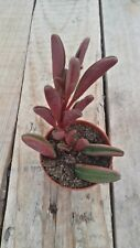 PEPEROMIA GRAVEOLENS Ruby Glow Planta suculenta viva  5,5 pot Succulent Cactus