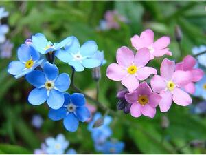 ALPINE FORGET ME NOT MIX - 1000 seeds - Myosotis alpestris - PERENNIAL FLOWER