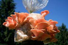40 g Sterile Pleurotus Djamor PINK OYSTER Mycelium Mushroom Spawn Seeds Spores