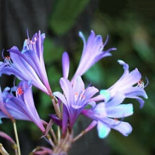 2 Pcs Purple Amaryllis Bulbs Beauty Bonsai Flowers Home Garden Viewing New.