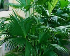 Panama Hat Palm - CARLUDOVICA ROTUNDIFOLIA - 28 Seeds - Tropicals