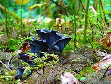 15 g Fresh BLUE CHANTERELLE Mycelium Cantharellus Mushroom Spawn Spores Seeds