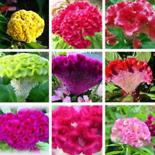 100 Pcs Mix-Color Celosia Crested Cockscomb Seeds Garden Easy Growing Flower