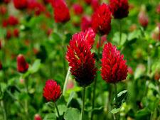 1000 / 8000 Graines de Trèfle Rouge Foncé / Incarnat / Trifolium Incarnatum