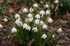 50 x Märzenbecher Samen / Frühlingsknotenblume / Leucojum vernum